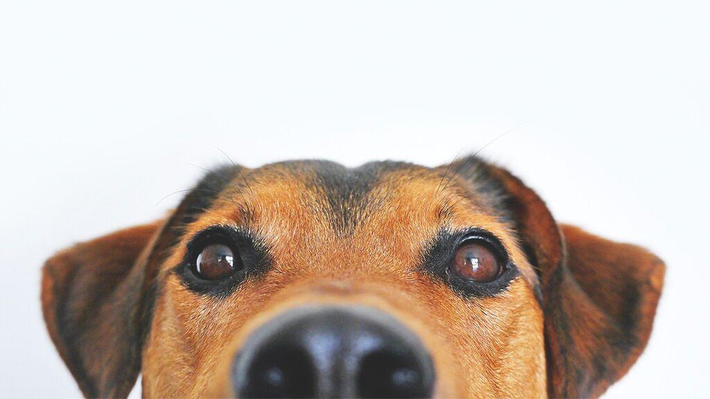 Hunde leiden schon seit Jahrtausenden an sexuell übertragbarem Krebs…